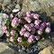 Himalaya-Mannsschild (Androsace sarmentosa)