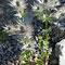 Alpen-Mannstreu (eryngium alpinum)