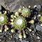 Spinnwegen-Hauswurz (Sempervivum arachnoideum)