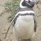 Magellan Pinguin, Punta Arenas, Chile
