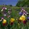 Blühende Iris vor einem Weinberg, Deidesheim