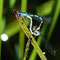 Becher Azurjungfer (Enallagma cyathigerum) Foto: W. Klawon
