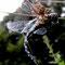 Herbst Mosaikjungfer (Aeshna mixta) Foto: W. Klawon