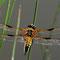 Vierfleck (Libellula quadrimaculata) Foto: W. Klawon
