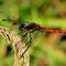 Große Heidelibelle (Sympetrum striolatum) Foto: W. Klawon