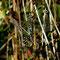 Herbst-Mosaikjungfer (Aeshna mixta) Foto: W. Klawon
