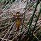Plattbauch (Libellula depressa) Foto: W. Klawon