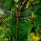 Große Heidelibelle (w) (Sympetrum striolatum) Foto: W. Klawon