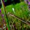 Gemeine Winterlibelle (Sympecma fusca) Foto: W. Klawon
