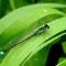 Gemeine Pechlibelle (Ischnura elegans) Foto: W. Klawon