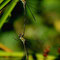 Weidenjungfer (Lestes viridis) Foto: W. Klawon