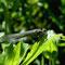 Hufeisen-Azurjungfer (Coenagrion puella) Foto: W. Klawon
