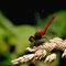 Blutrote Heidelibelle (Sympetrum sanguineum) Foto: W. Klawon