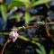Kleine Binsenjungfer (Lestes virens) Foto: W. Klawon