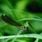 Gebänderte Prachtlibelle (Calopteryx splendens) Foto: W. Klawon