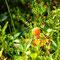 Die perfekte Jahreszeit zum Sumpfbeeren sammeln :-) !
