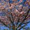 Un cerisier en fleur