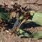 welwitschia mirabilis (männliches Exemplar)