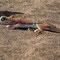 sand-stalker-lizard oder palmato gecko
