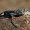 Wunderschöner Gecko