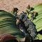welwitschia mirabilis (weibliches Exemplar)