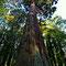 Majestueux séquoïa dans le parc de l'abbaye.