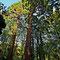 On trouve dans le parc une petite dizaine de séquoïas.