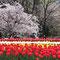 万博記念公園の桜まつり