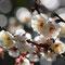 早咲きの白梅