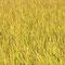 収穫直前の黄金色に輝く田