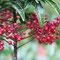 お正月の赤い実(万両、千両、百両、十両、一両)