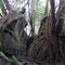 大きな岩に生える木(ヤクスギランド)
