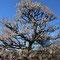 「思いのまま」の梅の木
