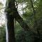くぐり杉(ヤクスギランド)