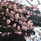 三十三間堂の河津桜(春桃会にて)