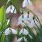 スノードロップ(松雪草)の花畑③