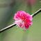 濃い桃色の梅