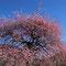 しだれ梅の大木(万博記念公園)