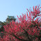 大阪城の紅梅
