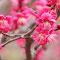 満開の紅い梅(下賀茂神社)
