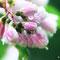 雨の日のサラサウツギ(6月)