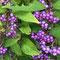 お庭の植物:コムラサキ