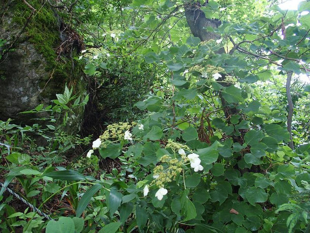 珍しい花ではないが文殊山にはないものと決めつけていた