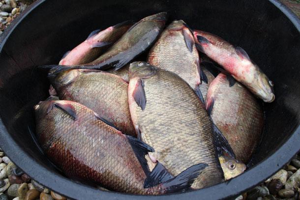 Weißfische wie Brachsen oder Rotaugen werden in größeren Mengen sehr günstig verkauft!