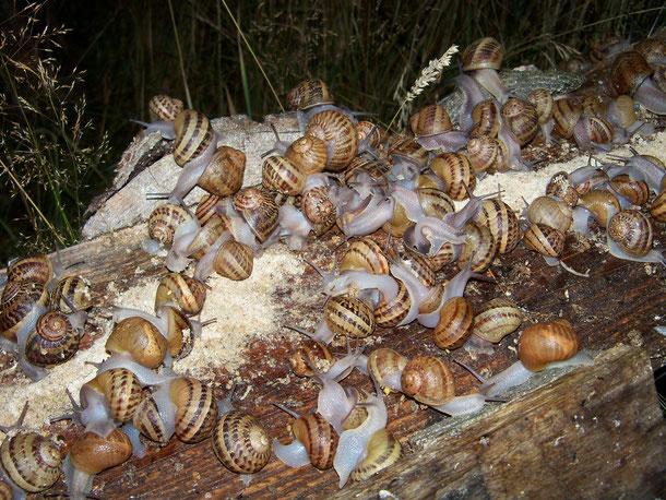 élevage d'escargots en Bourgogne - Morvan