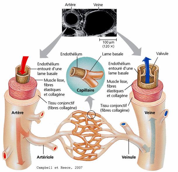 Schéma de la structure d'une artère et d'un veine (comparaison). Source : Campbell et al.