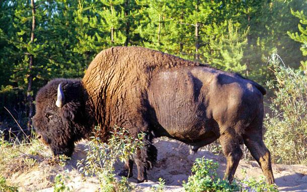 カナダの世界遺産「ウッド・バッファロー国立公園」のアメリカ・バイソン