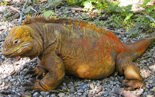 ガラパゴスリクイグアナ。IUCN(国際自然保護連合)レッドリスト危急種