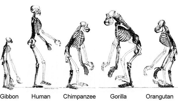 テナガザル、人間、チンパンジー、ゴリラ、オラウータンの骨格
