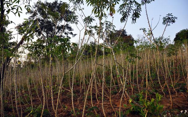 タイのキャッサバ畑